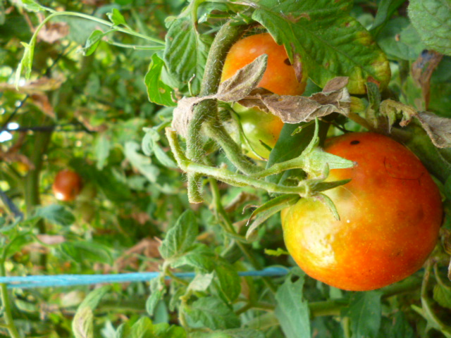 Tomates - Page 3 P1090419