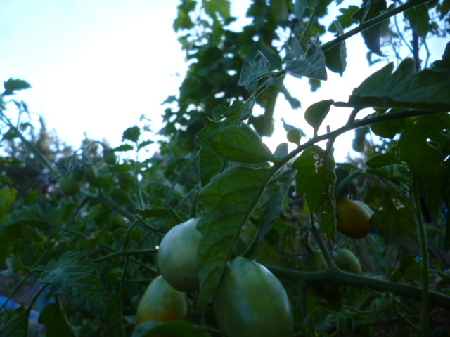 Tomates - Page 4 P1090614