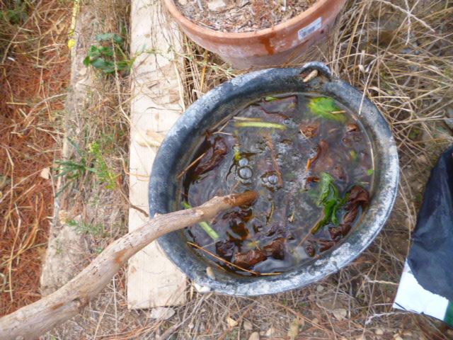 je jardine avec l'esprit de la permaculture  - Page 3 P1090810