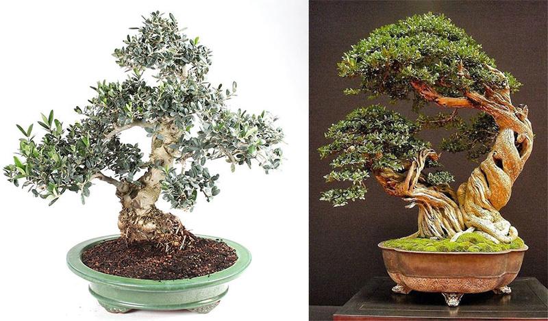 Printemps bonsaï Tramie10