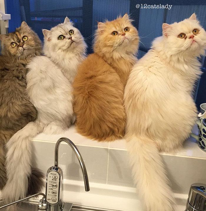 Cats Lady et ses 12 chats persans 14753311