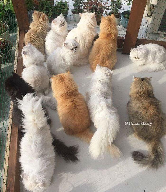 Cats Lady et ses 12 chats persans 14753313