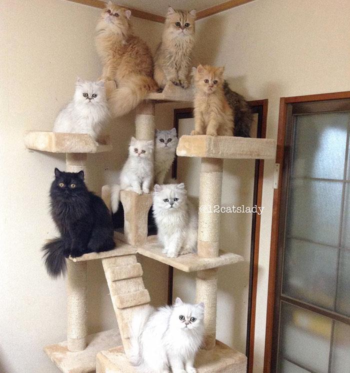 Cats Lady et ses 12 chats persans 14753315