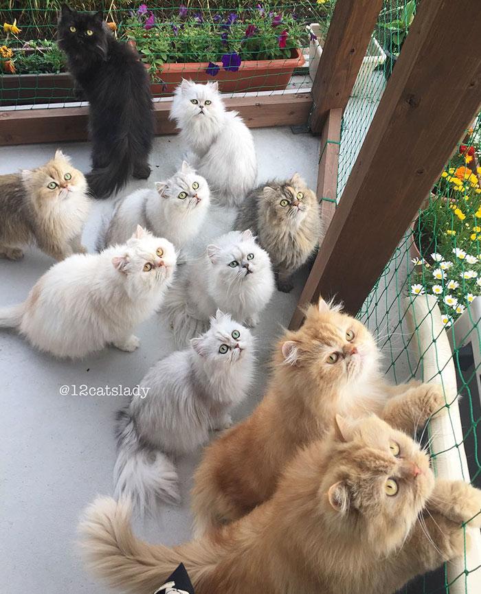Cats Lady et ses 12 chats persans 14753316