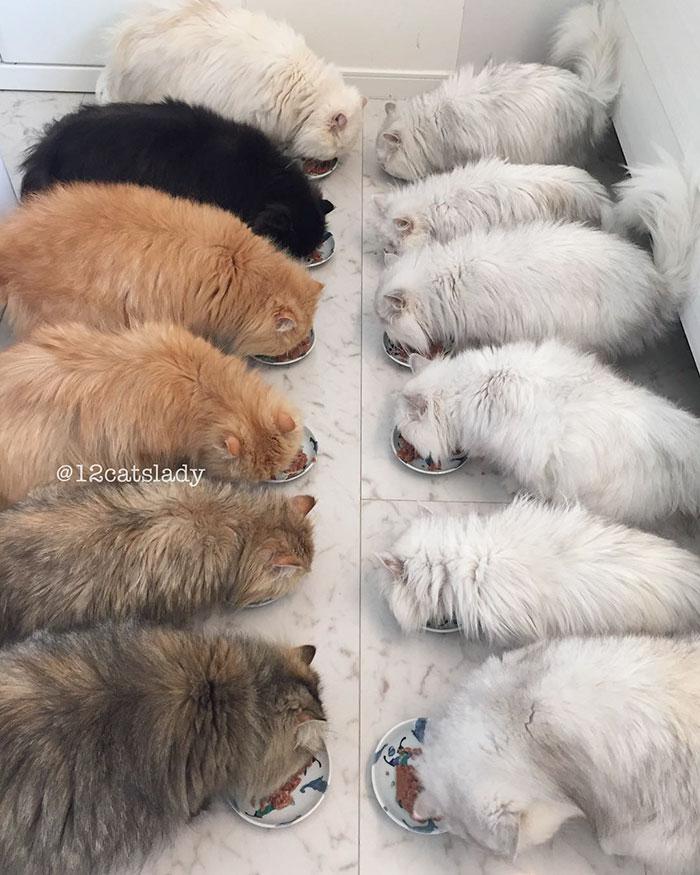 Cats Lady et ses 12 chats persans 14753317