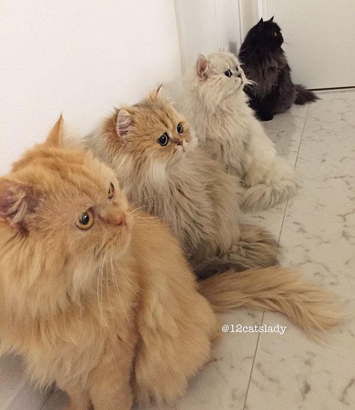 Cats Lady et ses 12 chats persans 14753318