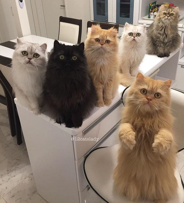 Cats Lady et ses 12 chats persans 14753319
