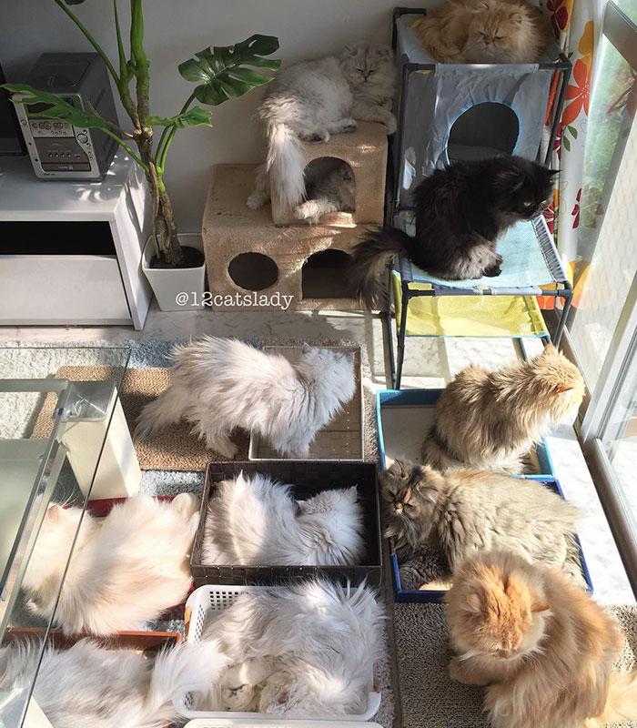 Cats Lady et ses 12 chats persans 14753320