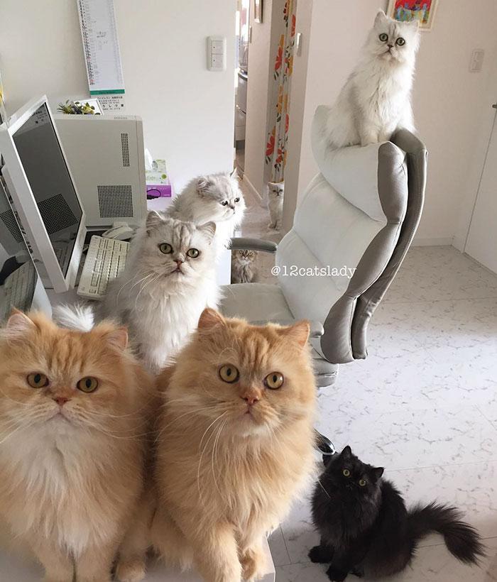 Cats Lady et ses 12 chats persans 14753321