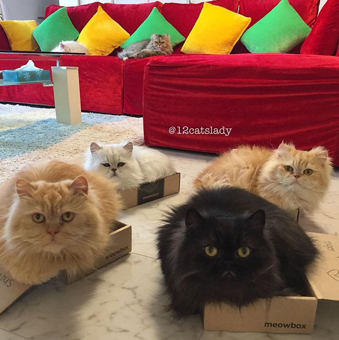 Cats Lady et ses 12 chats persans 14753322