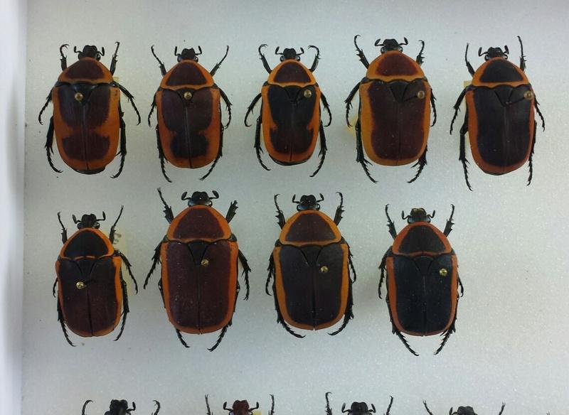 Pachnoda savigny Gory et Percheron 1833 ssp. consentanea Schaum 2014-013