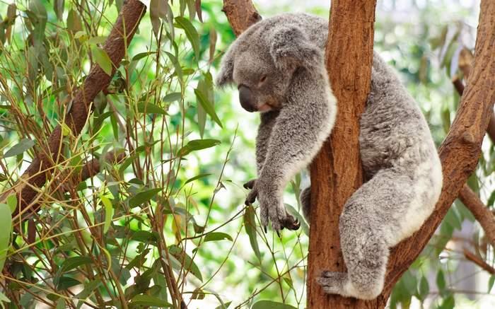 Les animaux - Page 9 Koalas10