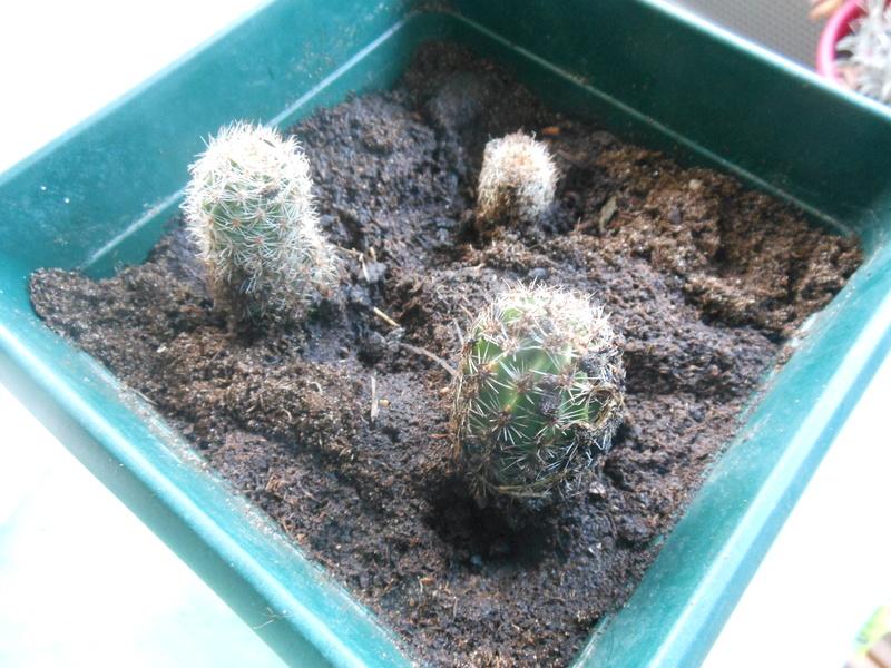 Floraisons de succulentes et cactées - Page 20 Cactus10