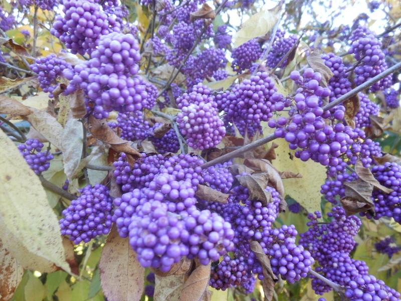 floraisons d'octobre - Page 15 Callic10