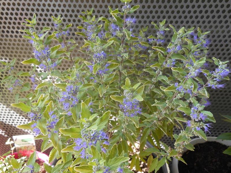 Floraisons du mois de septembre - Page 11 Caryop10