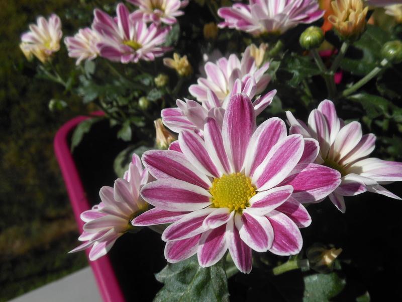 Floraisons du mois de septembre - Page 11 Chrysa10