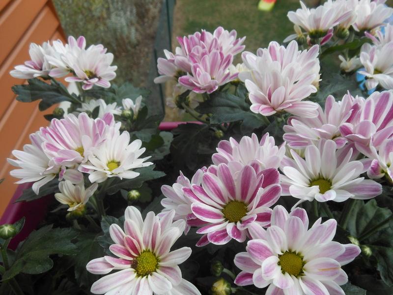 Floraisons du mois de septembre - Page 11 Chrysa13