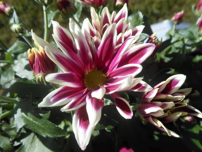 Floraisons du mois de septembre - Page 11 Chrysa14
