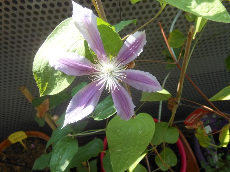 floraisons d'octobre - Page 14 Clymat12