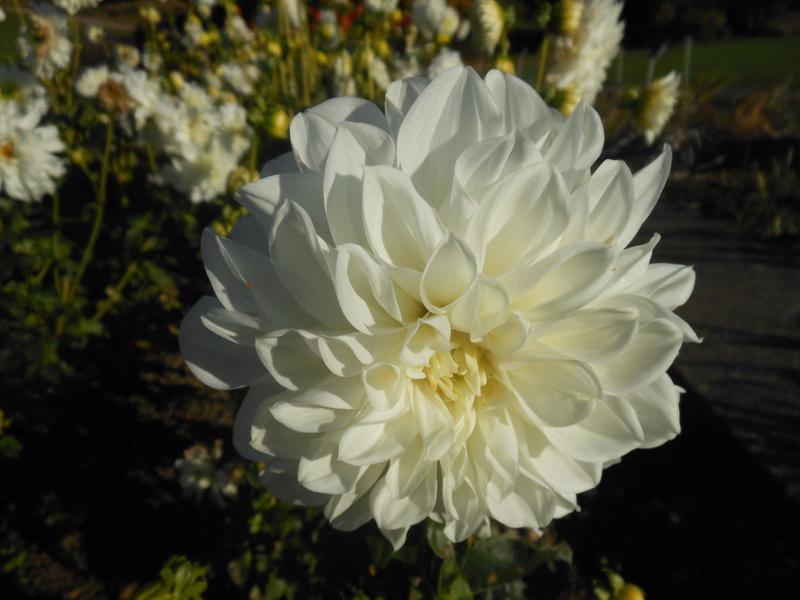 floraisons d'octobre - Page 15 Dahlia10