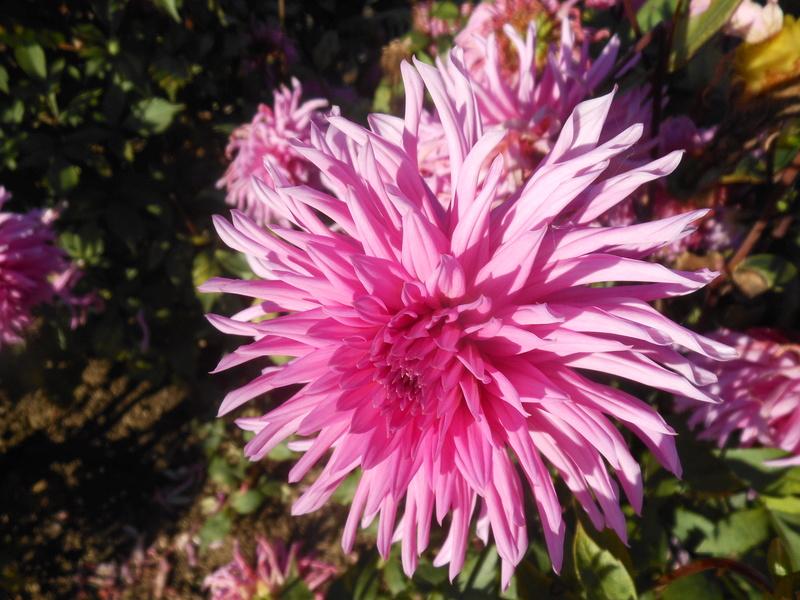 floraisons d'octobre - Page 15 Dahlia12
