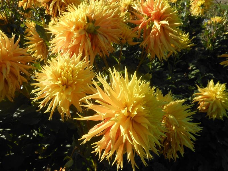 floraisons d'octobre - Page 15 Dahlia13