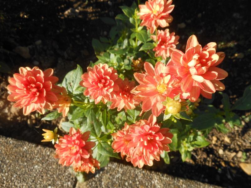 floraisons d'octobre - Page 15 Dahlia14