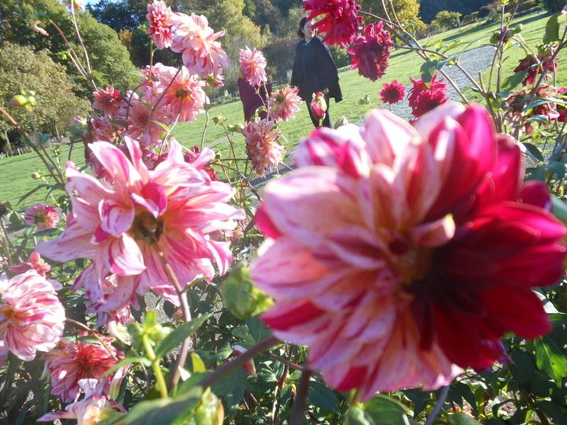 floraisons d'octobre - Page 15 Dahlia15