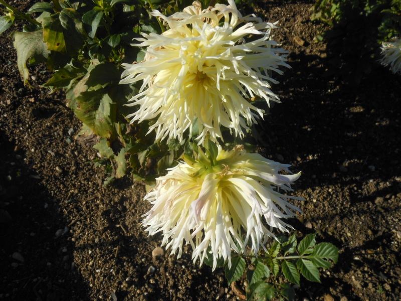 floraisons d'octobre - Page 15 Dahlia18
