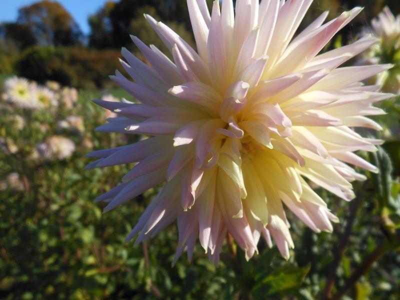 floraisons d'octobre - Page 15 Dahlia19