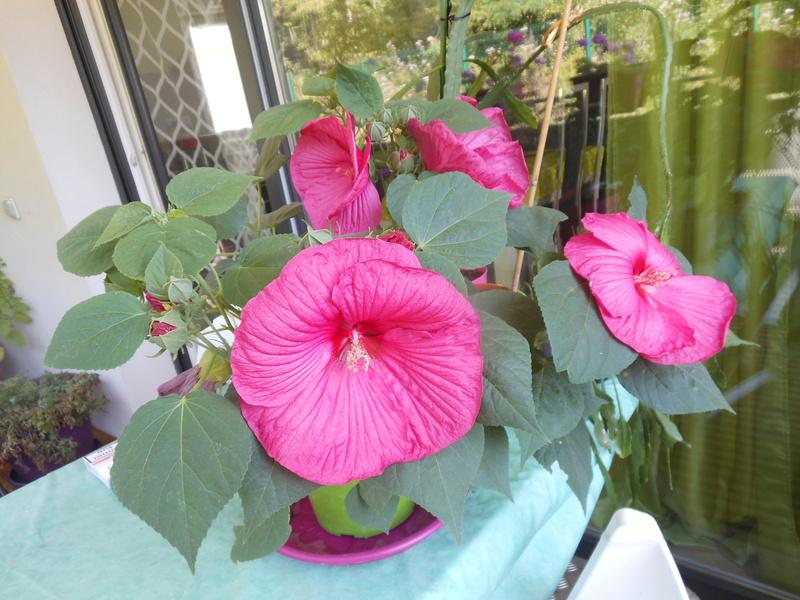 Floraisons du mois de septembre - Page 11 Hibisc10