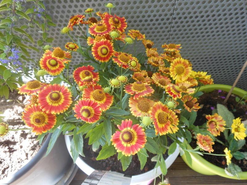Floraisons du mois de septembre - Page 11 Hylyni10