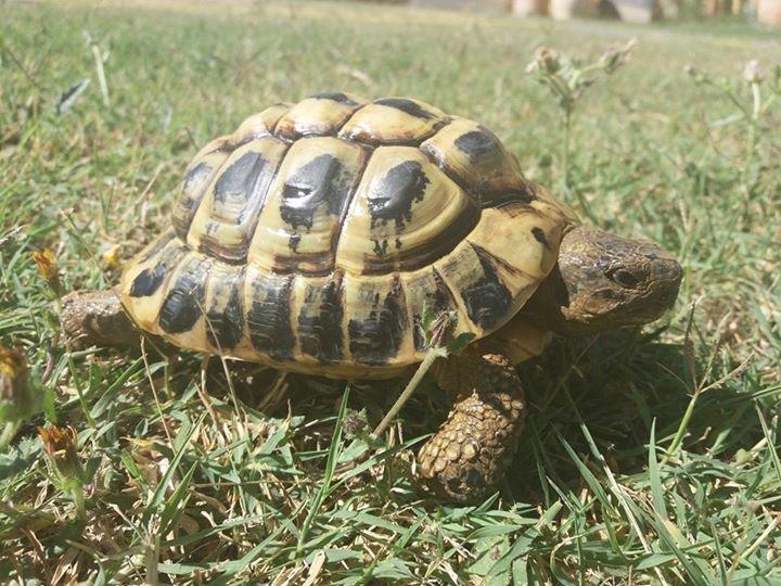 De quel variété d'hermann sont mes tortues  Image14