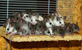Fiche d elevage de la souris mastomys Images10
