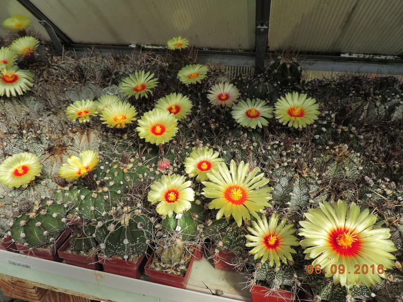 Cacti and Sukkulent in Köln, every day new flowers in the greenhouse Part 150 Bild_110