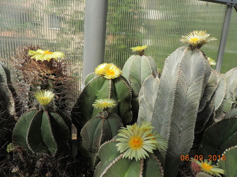 Cacti and Sukkulent in Köln, every day new flowers in the greenhouse Part 150 Bild_111