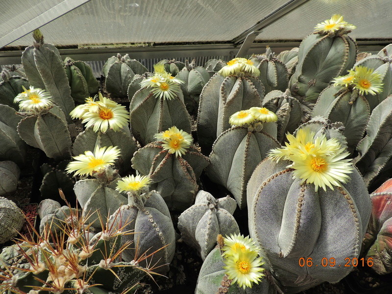 Cacti and Sukkulent in Köln, every day new flowers in the greenhouse Part 150 Bild_112
