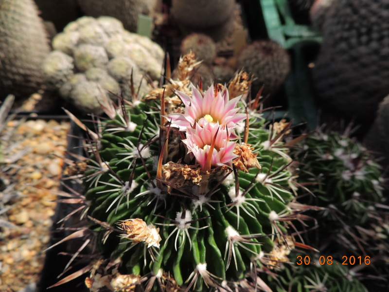 Cacti and Sukkulent in Köln, every day new flowers in the greenhouse Part 150 Bild_121