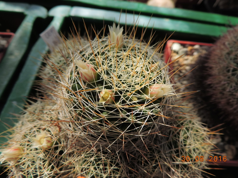 Cacti and Sukkulent in Köln, every day new flowers in the greenhouse Part 150 Bild_128
