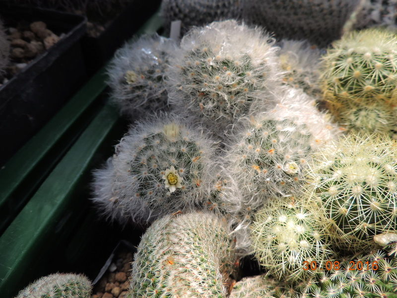Cacti and Sukkulent in Köln, every day new flowers in the greenhouse Part 150 Bild_133