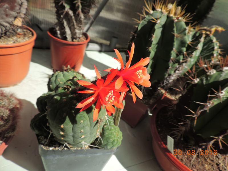 Cacti and Sukkulent in Köln, every day new flowers in the greenhouse Part 150 Bild_135