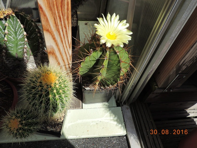 Cacti and Sukkulent in Köln, every day new flowers in the greenhouse Part 150 Bild_139