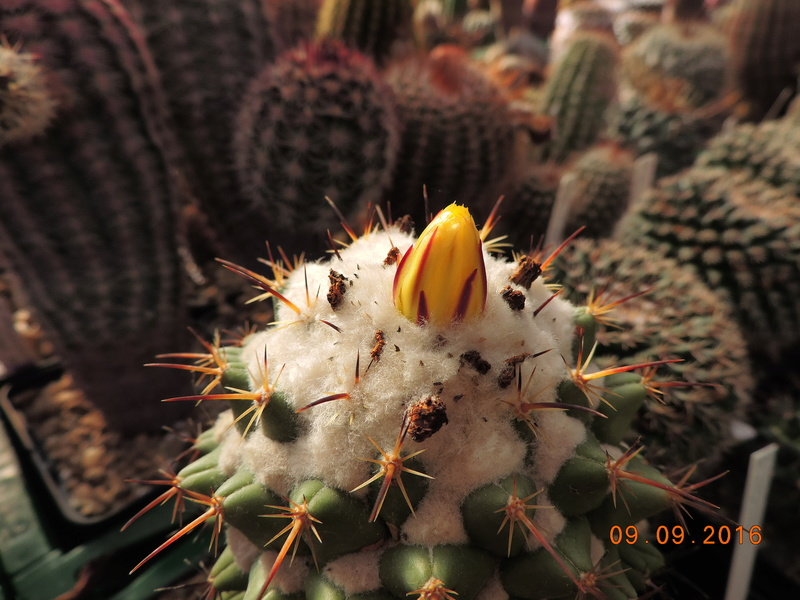 Cacti and Sukkulent in Köln, every day new flowers in the greenhouse Part 150 Bild_157