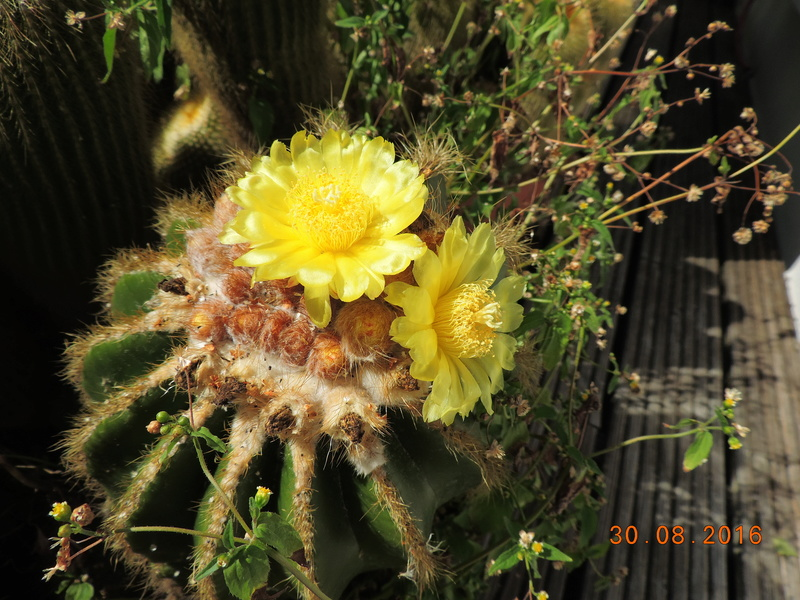 Cacti and Sukkulent in Köln, every day new flowers in the greenhouse Part 151 Bild_174