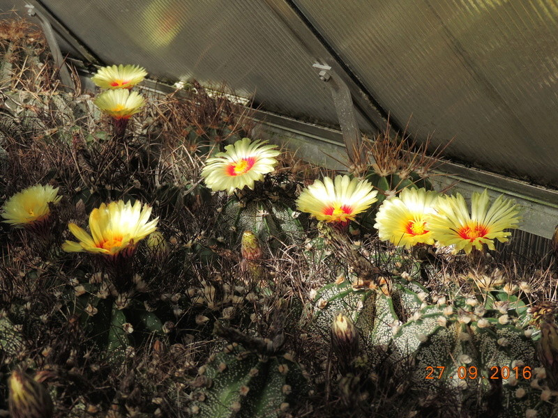 Cacti and Sukkulent in Köln, every day new flowers in the greenhouse Part 151 Bild_235