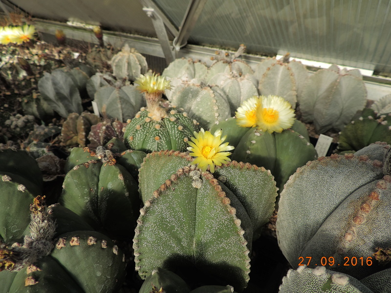 Cacti and Sukkulent in Köln, every day new flowers in the greenhouse Part 151 Bild_236