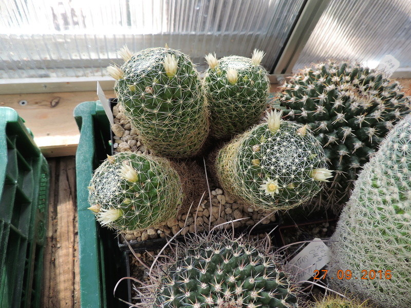 Cacti and Sukkulent in Köln, every day new flowers in the greenhouse Part 151 Bild_275