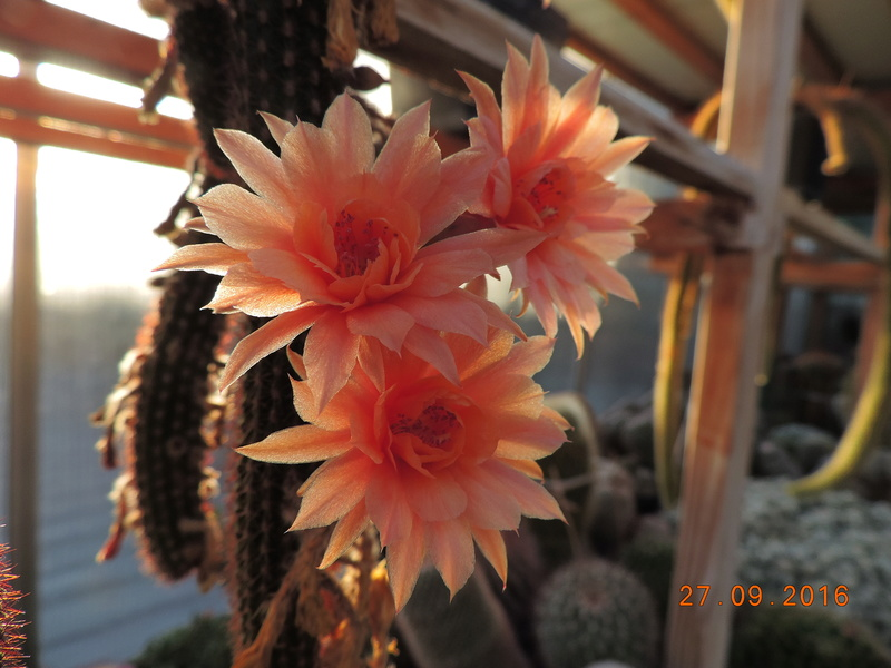 Cacti and Sukkulent in Köln, every day new flowers in the greenhouse Part 151 Bild_280