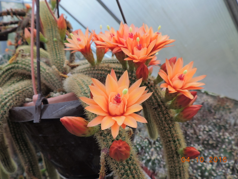Cacti and Sukkulent in Köln, every day new flowers in the greenhouse Part 151 Bild_302