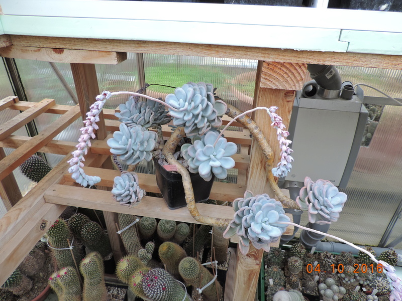 Cacti and Sukkulent in Köln, every day new flowers in the greenhouse Part 151 Bild_305